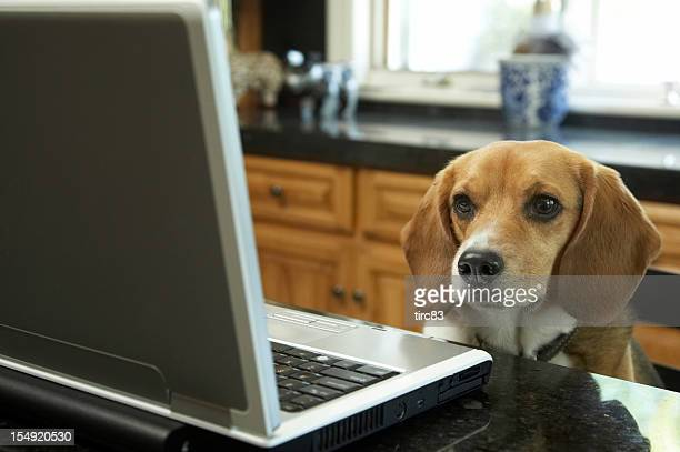 Beagle looking at the laptop