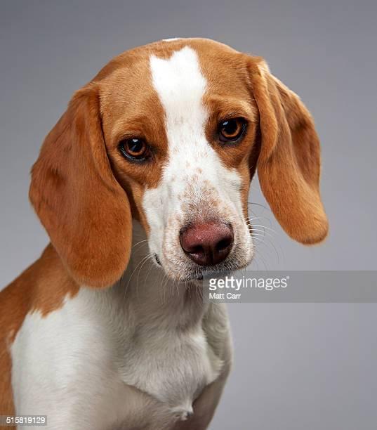 Beagle looking sad