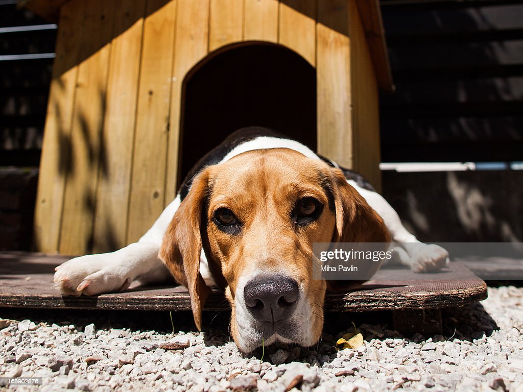 Beagle lying in front of dog house