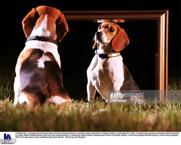 A beagle named Daisy looks at what could one day be a cloned image of herself in College Station Texas March 9 2000 A worldclass group of scientists...