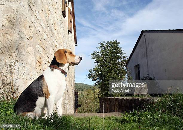 Beagle observe at mountain in France