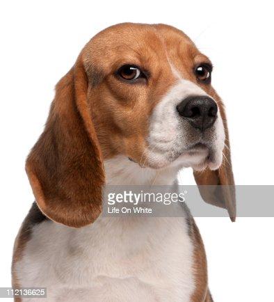 Beagle (1 year old)