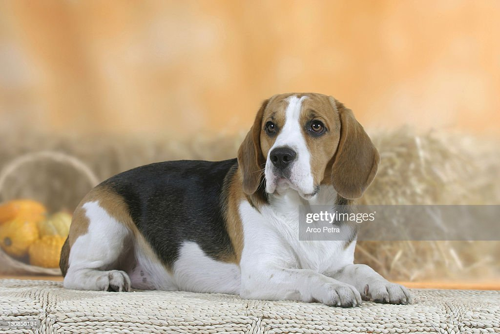 Beagle : Stock Photo