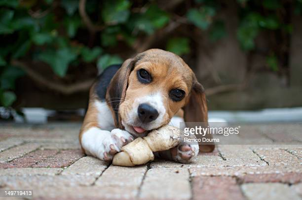 Beagle pup chewing on bone