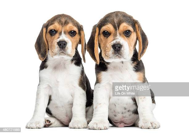 Beagle puppies sitting, looking at the camera
