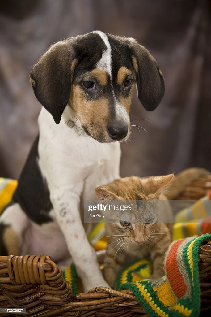 Beagle Puppy and Kitten : Stock Photo