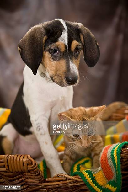 Beagle Puppy and Kitten