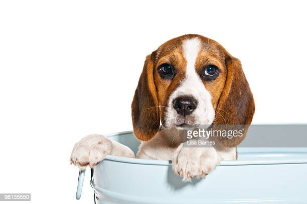 Beagle puppy in a tin bucket
