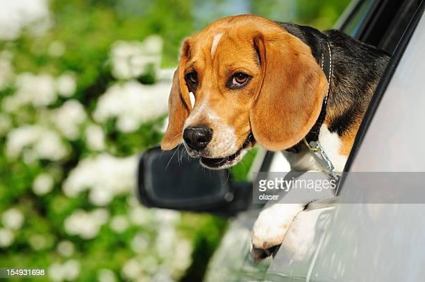 Beagle-Welpen im Auto Fenster, Blick in die Kamera
