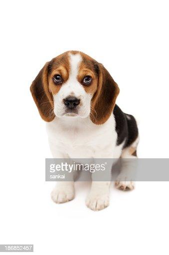 Beagle puppy isolated on white background