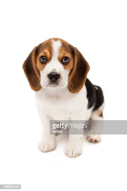 Beagle puppy isolated on white background