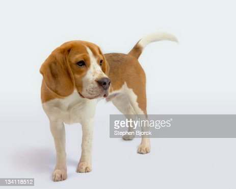 Beagle puppy on white