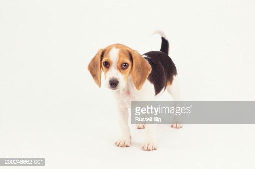 Beagle Puppy, (Portrait)