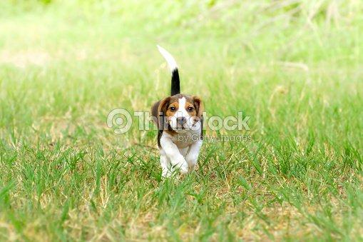 Cucciolo Di Beagle Corsa Sullerba Verde Brillante Foto Stock