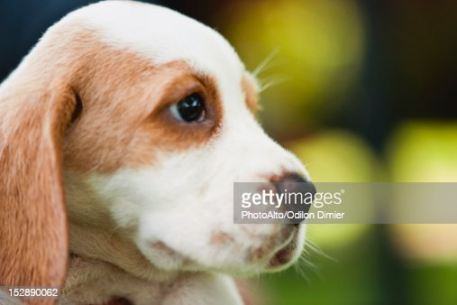 Beagle puppy, side view