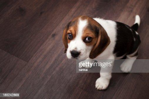 Beagle puppy sitting on a dark wooden floor
