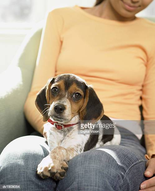 Beagle Puppy Sitting on a Woman's Lap