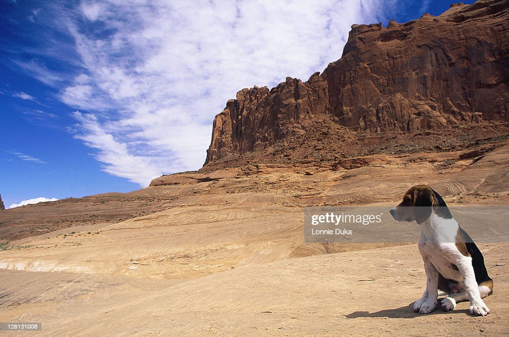 Beagle puppy sitting on dirt road : Stock Photo