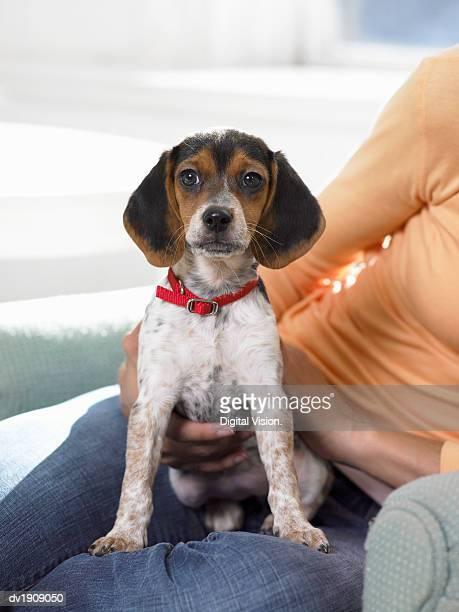 Beagle Puppy Sitting on Woman's Lap