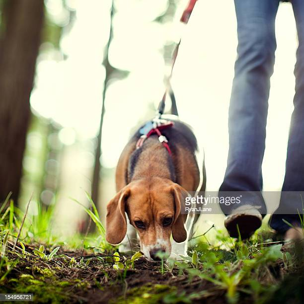 Beagle Sniffing and Hunting in Forest Park