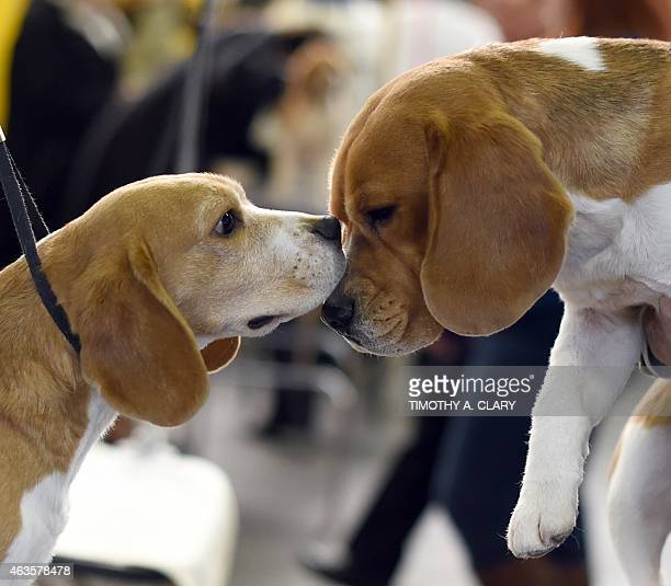 Beagles in the benching area at Pier 92 and 94 in New York City on the first day of competition at the 139th Annual Westminster Kennel Club Dog Show...