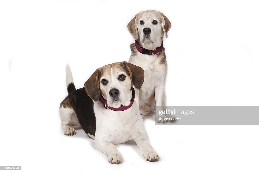 2 Beagles on white background! : Stock Photo
