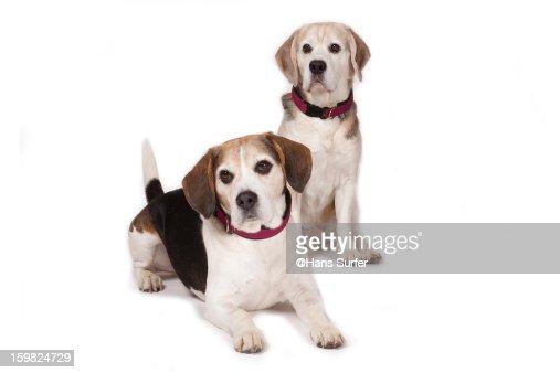 2 Beagles on white background! : Stock Photo
