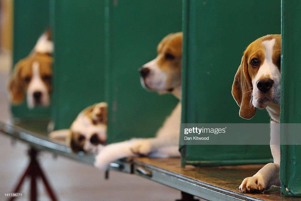 Beagles sit in their kennels on the fourth and final day of Crufts at the Birmingham NEC Arena on March 11, 2012 in Birmingham, England. During the annual four-day competition nearly 22,000 dogs and their owners will compete for a variety of accolades, ultimately seeking the coveted title of 'Best In Show'.