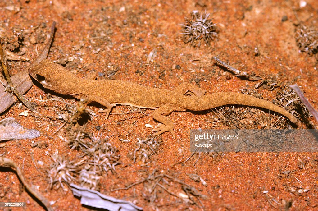Beaked gecko Rhynchoedura ornata dust bathing West of Cobar New South Wales Australia