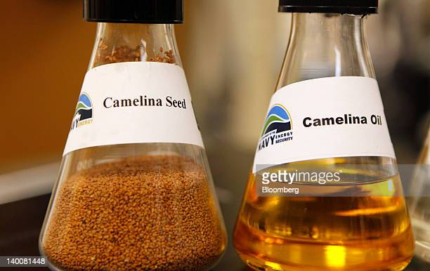 Beakers containing camelina seed and camelina oil are arranged for a photo at the Patuxent River Naval Air Station in Patuxent River Maryland US on...