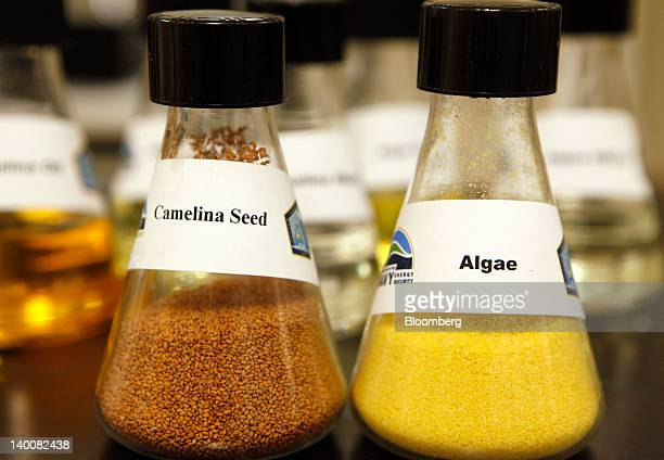 Beakers containing camelina seed left and algae are arranged on a table at the Patuxent River Naval Air Station in Patuxent River Maryland US on...