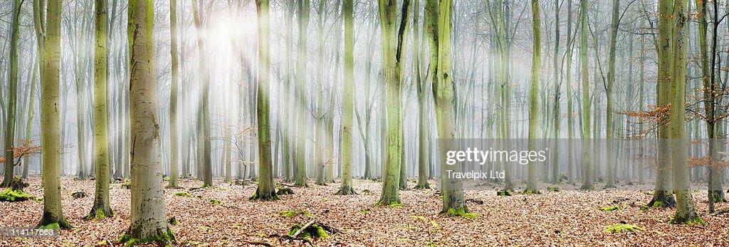 Beams of sunlight bursting through Forest : Stock Photo