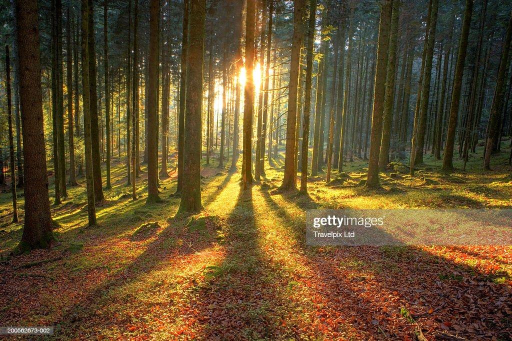 Beams of sunlight bursting through pine trees, autumn : Stock Photo