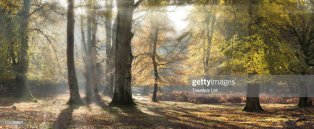 Beams of sunlight, Forest Interior : Stock Photo