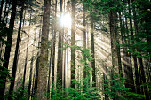 Beams of sunlight shine through a thick forest in British Columbia, Canada.