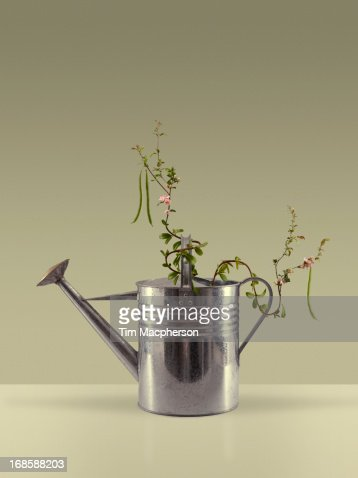 Bean Plant Growing Around A Watering Can Stock Photo