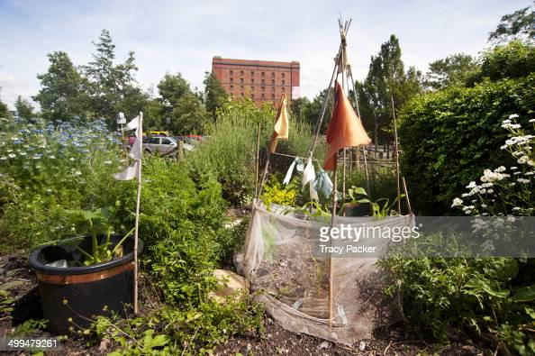 Bean plants protected in the flower fruit vegetable garden of the Create Centre Ecohome Garden in Bristol One of the iconic red brick Tobacco...