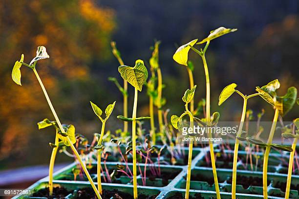 Bean seedlings