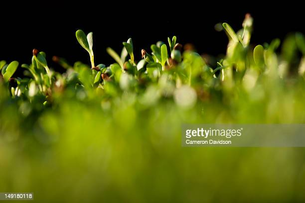 Bean sprouts growing in a field