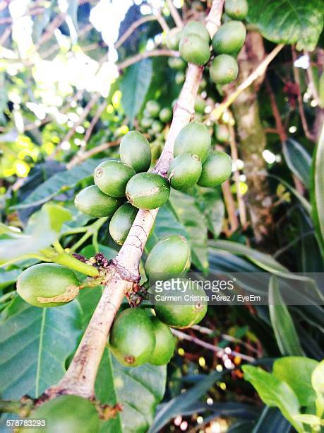 Beans On Coffee Plant