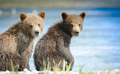 Two Alaska brown bear cubs looking at the viewer at McNeil River State Game Sanctuary
