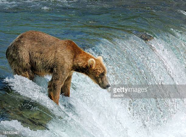 Bear fishing for salmon by a  waterfall in Alaska
