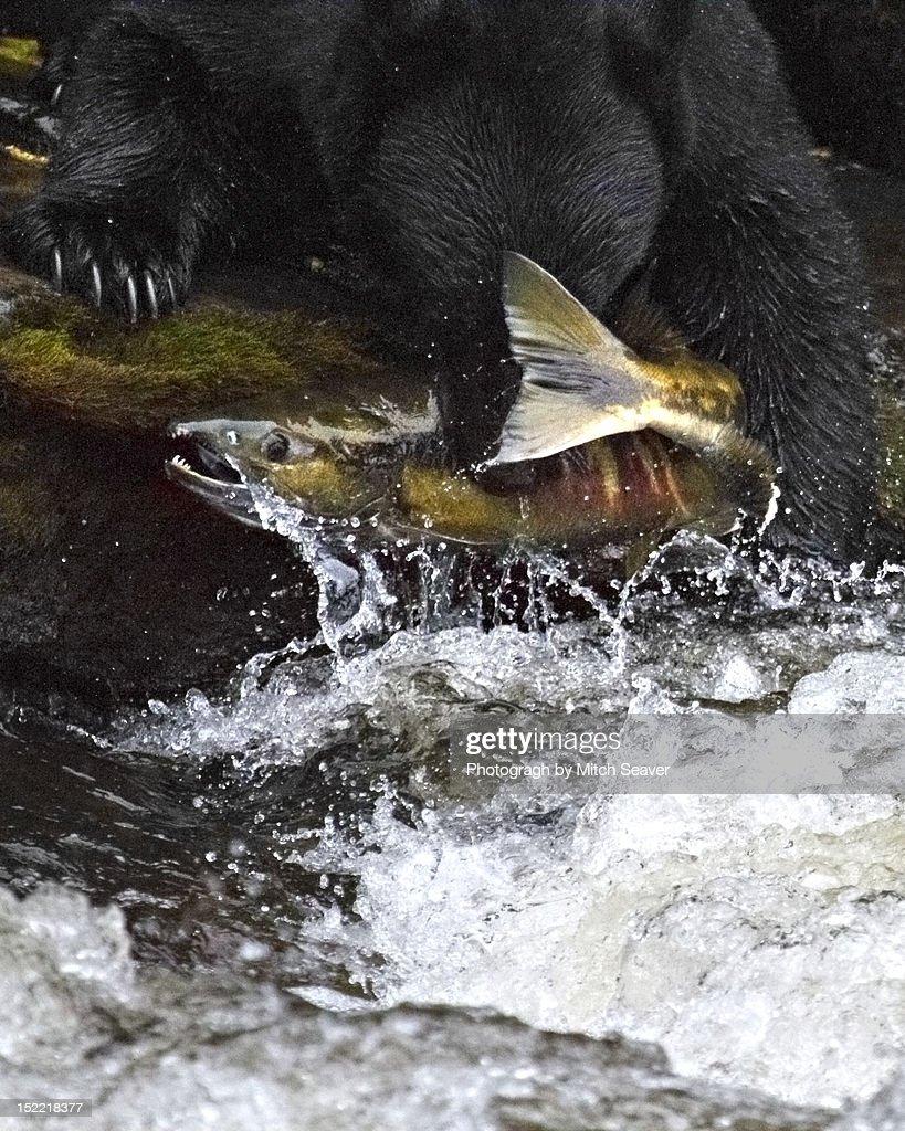 Bear Grabbing Salmon from Stream : Stock-Foto