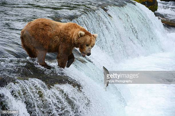 A bear hunting for salmon
