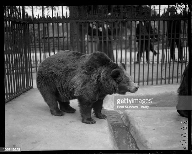 Bear in cage Lincoln Park Zoo Chicago Illinois 1900