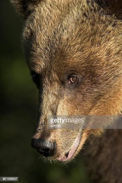 Bear in sunlight