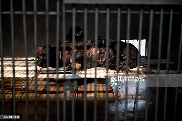 A bear naps in his cage at one of the traditional Chinese medicine company Guizhentang's controversial bear bile farms in Hui'an southeast China's...