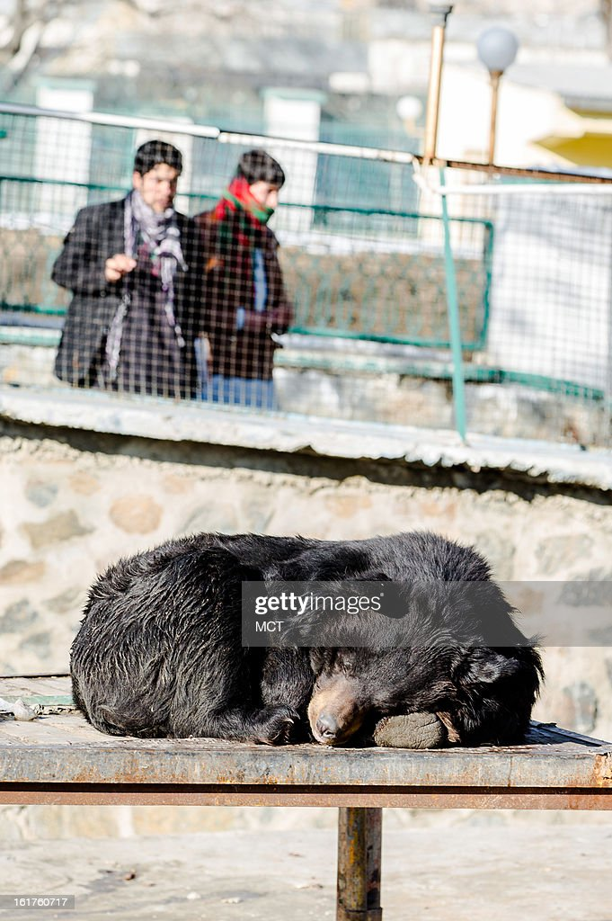 A bear naps in the sun at the Kabul Zoo February 9, 2013. Despite being no larger than a suburban U.S. high school campus, the zoo has become one of the most popular leisure attractions in all of Afghanistan - so popular in fact that ticket sales generate more money than it costs to operate the attraction.