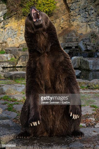 Bear Roaring Among Rocks