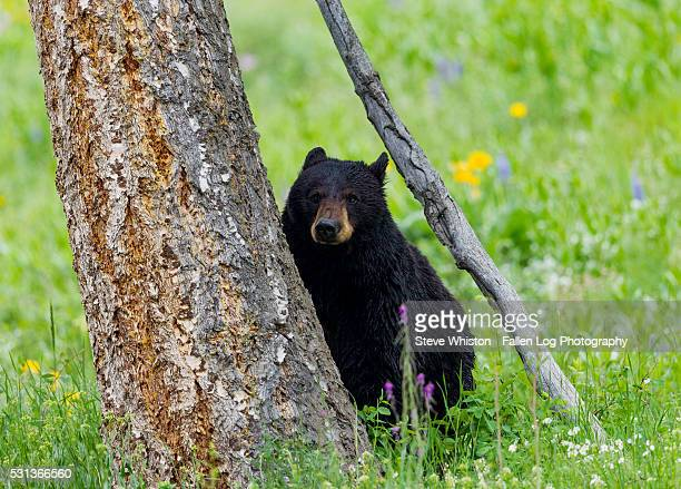 Bear Sitting By a Tree in Yellowstone National Park